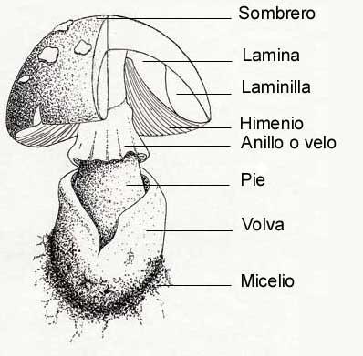 Sociedad Micológica Segoviana, partes de las setas