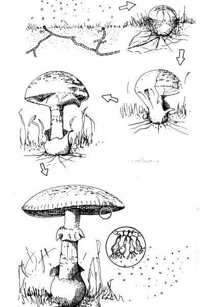 Sociedad Micológica Segoviana, secuencia seta