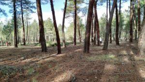 Pinar (Pinus pinaster)